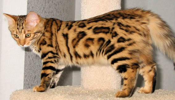 Cashmere bengal cat for sale
