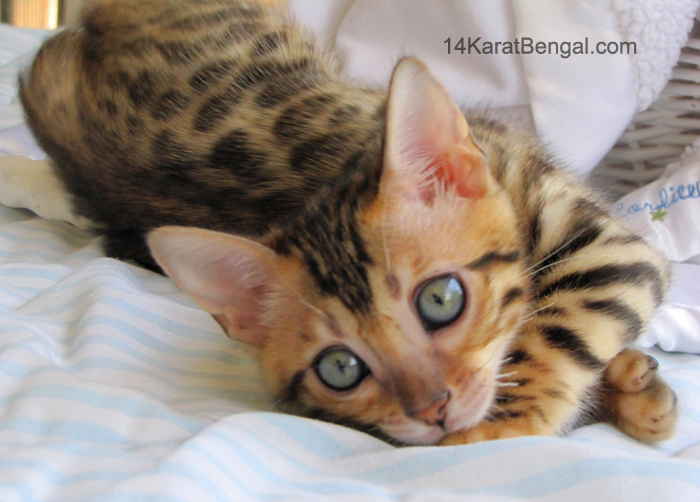 bengal cat information size
