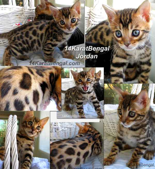 Well known bengal cat breeders in arizona