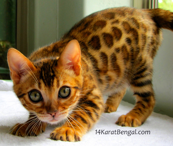 Bengal Kittens for Sale, Healthy, Top Quality Bengal ...Orange And White Bengal Cat