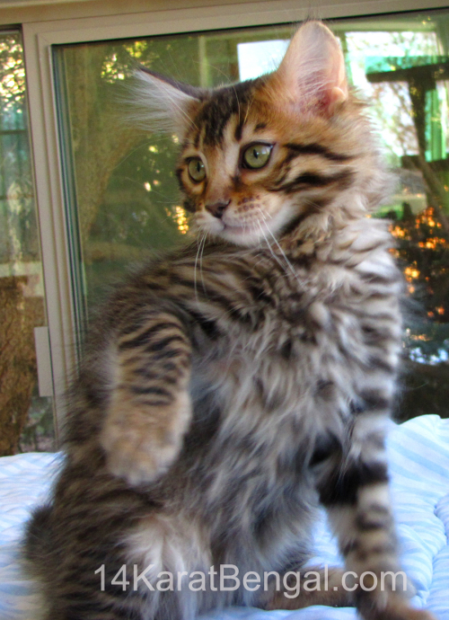 cashmere bengal cats for sale long hairstyles