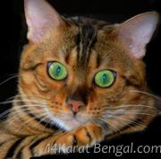 Bengal Kittens & Bengal Cats of 14Karat Bengal Cat Cattery