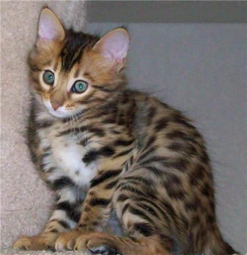 14karat Bengal Cattery Az Cashmere Traditional Bengal Kittens
