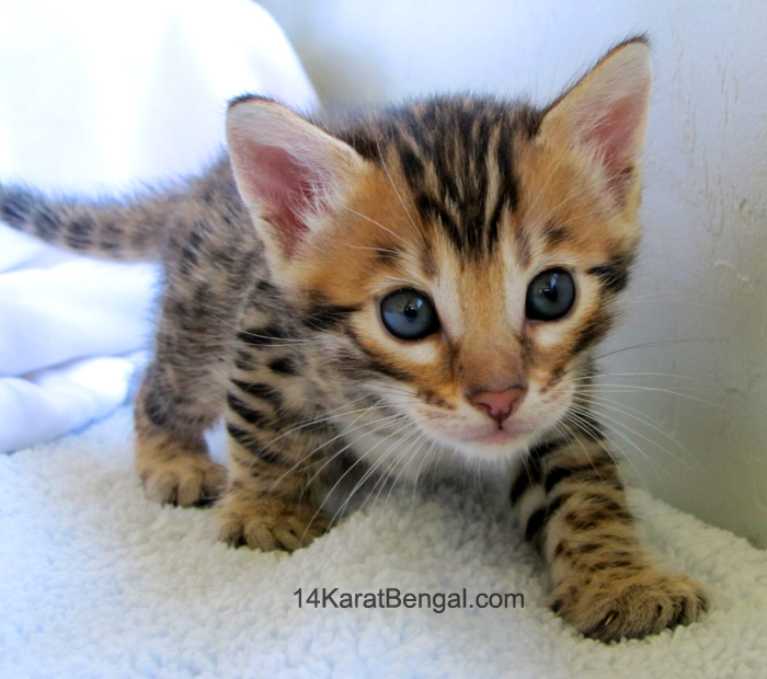 Bengal Kittens for Sale, Healthy, Top Quality Bengal Kittens