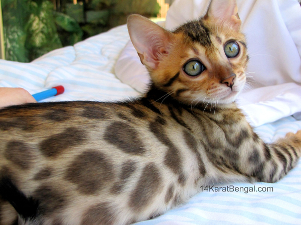 Bengal Kittens For Sale Healthy Top Quality Bengal